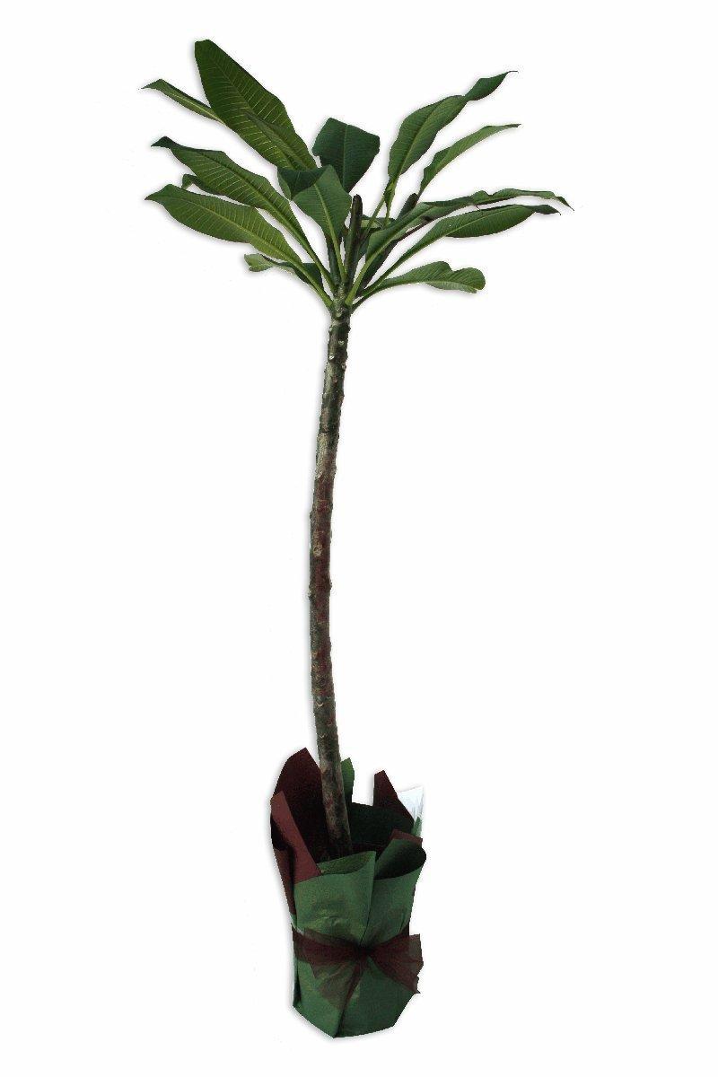 Frangipani Plant Perth Frangipani Plant Delivery Perth