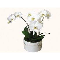 3 Phalaenopsis Orchids In Large Round Ceramic Vase