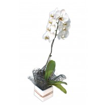 Phalaenopsis Orchid - 1 Flowering Stem