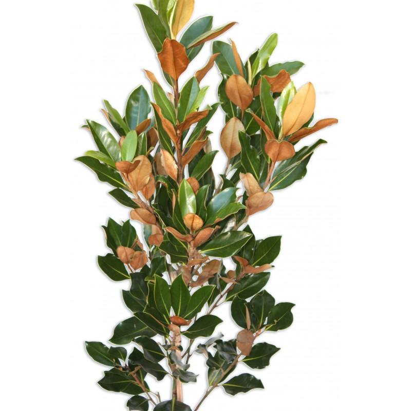 Magnolia Little Gem Plant Perth Magnolia Plant Perth