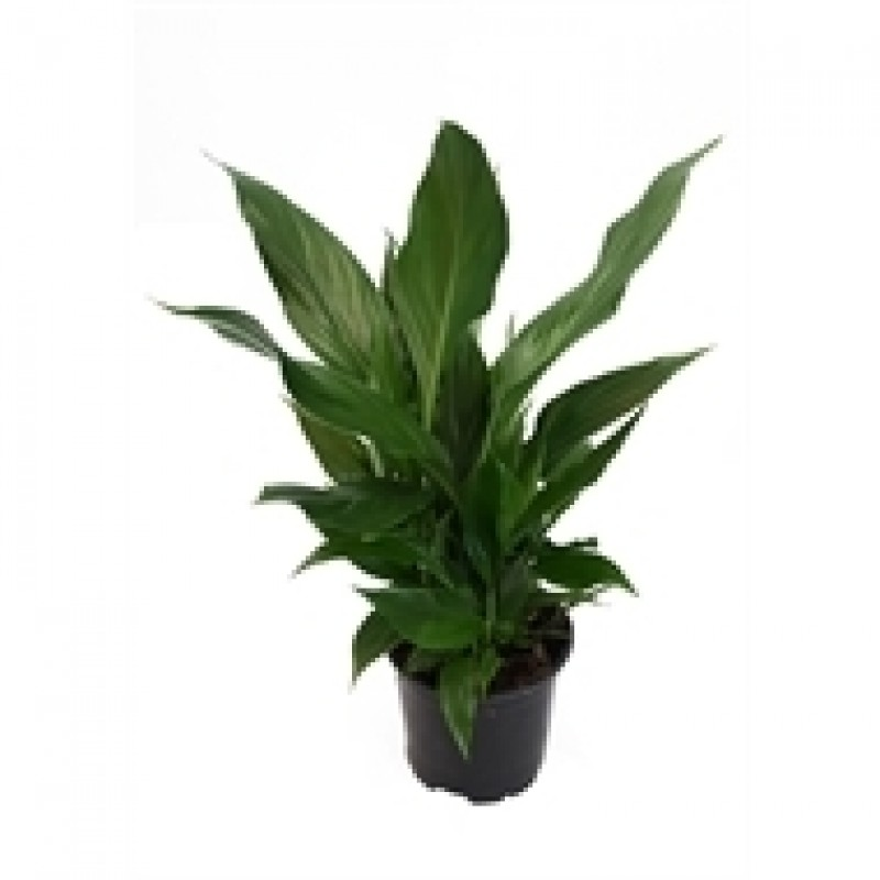Potted Spathiphyllum Peace Lily Plant Perth